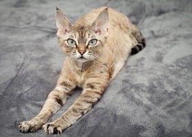 Девон рекс: як доглядати за кішкою будинку