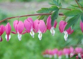 Дицентра: вирощування і догляд