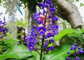 Дихоризандра: поради по вирощуванню і розмноженню