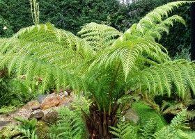 Діксон: поради по вирощуванню папороті-гіганта