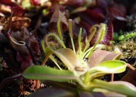 Діонея: поради по догляду за венериної мухоловкою