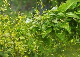Диоскорея: поради по вирощуванню і розмноженню