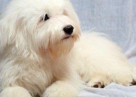 Домашнє розведення породи собак одис