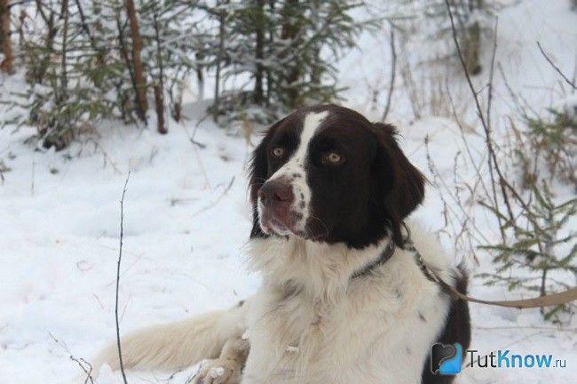 Дрентской куропаточная лягава на снігу