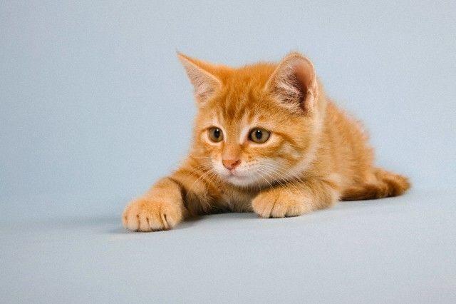 Дресирування кішок - як навчити кішку лежати
