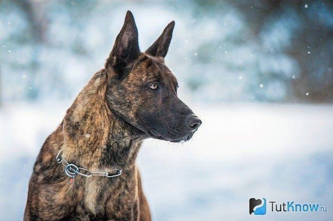 Хердер на снігу