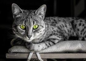 Єгипетська кішка мау: походження, опис