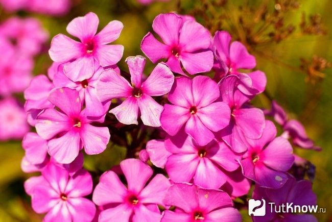 рожева фіалка