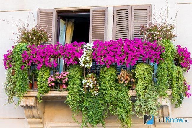 Фуксії квітнуть на балконі