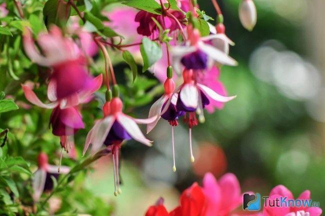 Фуксія цвіте в саду
