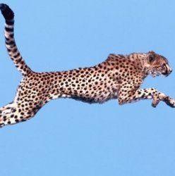 Гепард встановив новий рекорд