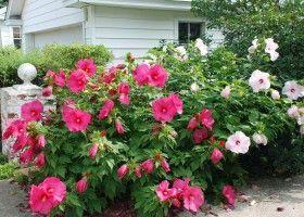 Гібіскус садовий - квітка любові