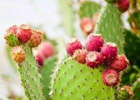Гігантський кактус опунція: опис, види, догляд