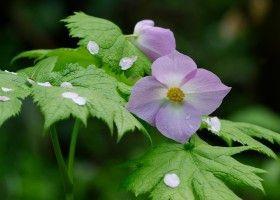 Глауцідіум: поради по вирощуванню у власному саду