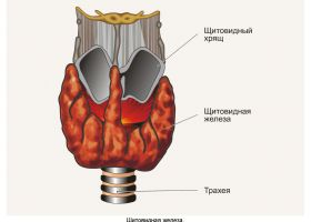 Схема щитовидної залози