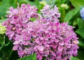 Гортензія: поради по вирощуванню «фіолетового сонця»