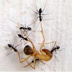 Цікава здатність мурашок