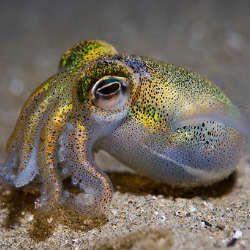 Яскрава і коротка сексуальне життя австралійського кальмара