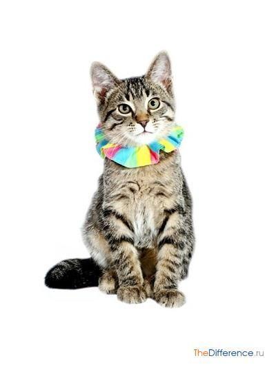 Як дресирувати кішку?
