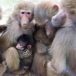Як і бабуїни, лідери залежні від влади