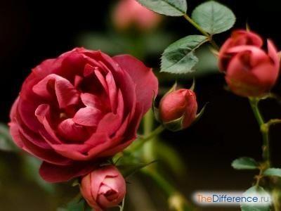 позбутися від павутинного кліща на троянді