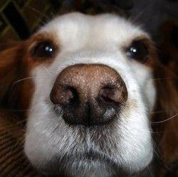 Як лікувати нежить у собаки