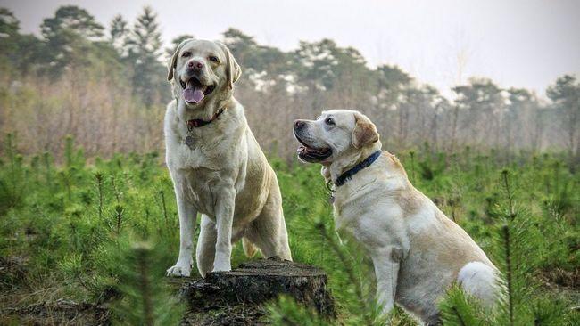 Як почистити вуха собаці без ветеринара