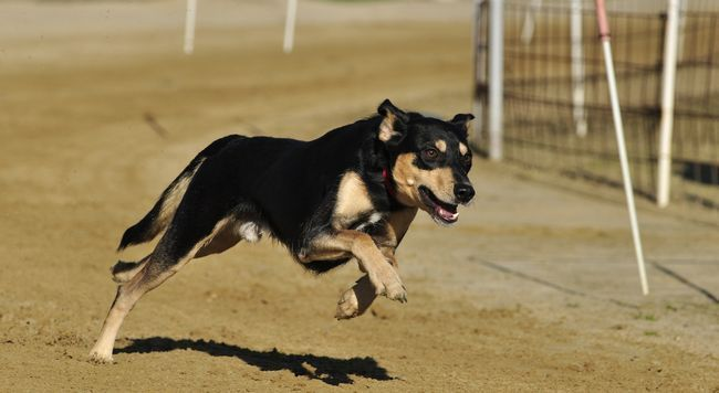 Як визначити сказ собаки: ознаки і форми
