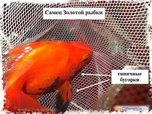 відміну самця золотої рибки від самки