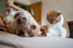 Як подружити кішку з собакою