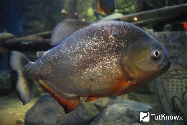 Рибка - піранья акваріумна