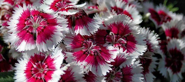 Китайська гвоздика має ряд відмінностей від звичного для нас квітки
