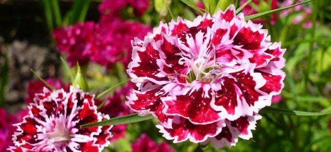 Гвоздика - квітка сприйнятливий до хвороб і шкідників