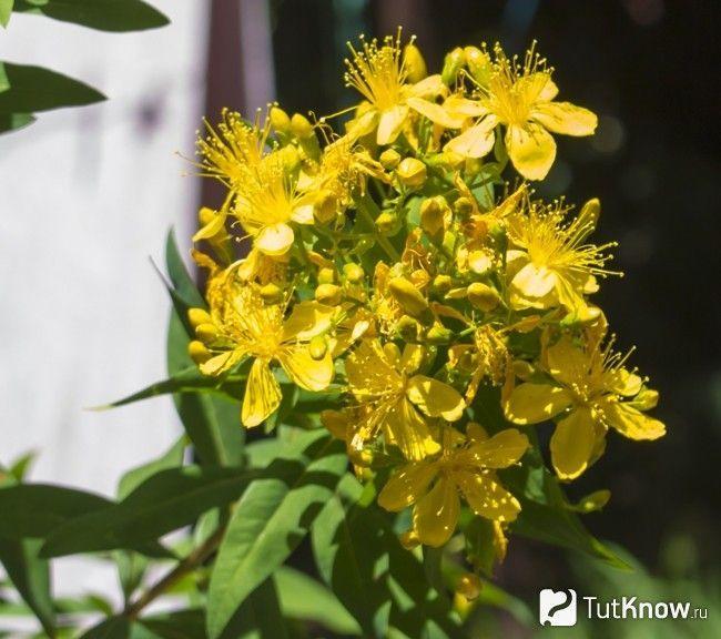 рослина звіробій
