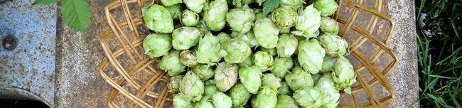 hops-183044_1280