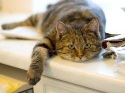 Як приймати пологи у кішки