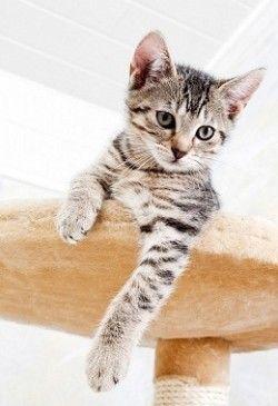 Як привчити кота до когтеточке
