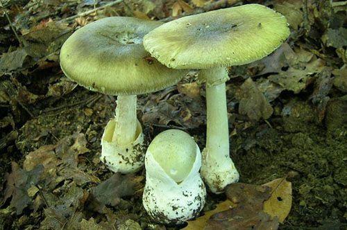 Як збирати гриби