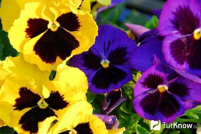 Квіти різних видів триколірної фіалки