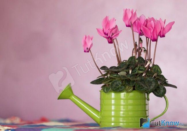 Перська дряква габи рожевого кольору в лійці