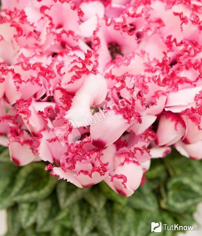 Бахромчастий перський цикламен Геліос Восторг рожевого кольору