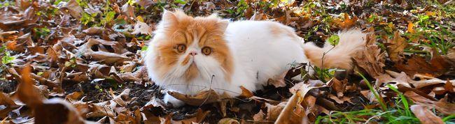 Як доглядати за перської кішкою