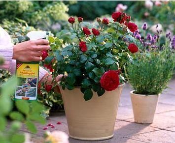 як правильно доглядати за трояндою в горщику