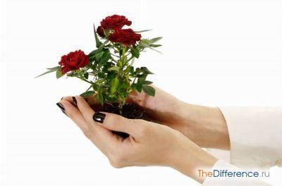Як пересаджувати троянду в горщику