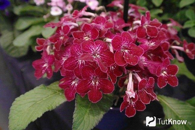 стрептокарпус цвіте
