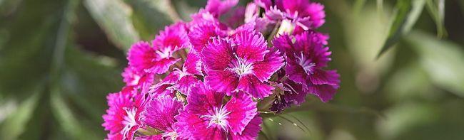carnation-825484_1280