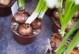 Як вирощувати зелену цибулю вдома?