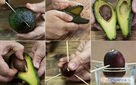 як виростити авокадо з кісточки вдома