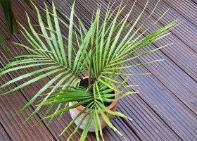Як виростити вдома пальму? Догляд за пальмою
