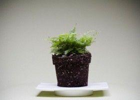 Як виростити вдома папороть? Догляд і розмноження